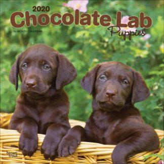 Cuccioli Labrador cioccolata SQUARE Chocolate Labrador Puppies