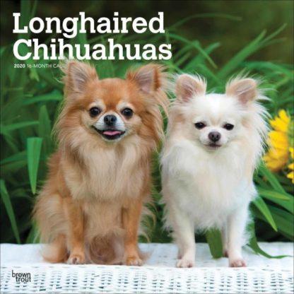 Chihuahua A pelo lungo SQUARE Longhaired Chihuahua