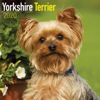 Yorkshire Terrier SQUARE Yorkshire Terrier